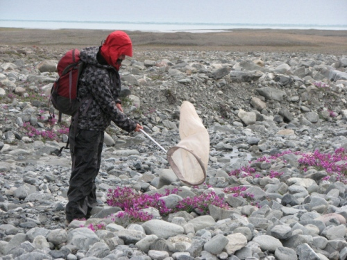 The joys of arctic fieldwork: Meagan hunting flies on Ellesmere Island (photo: Donna Giberson)